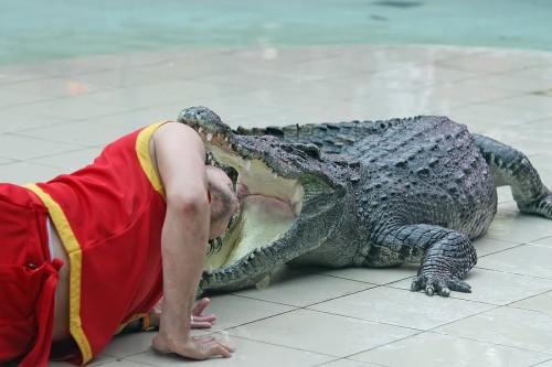 Galva krokodilo nasruose