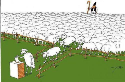 Avys rinkimuose