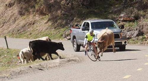 Dviratininkas ir karvė