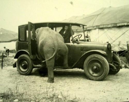 Dramblys lipa į mašiną