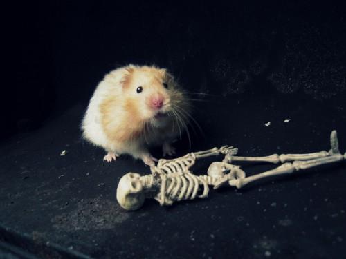 Milžiniškas žiurkėnas šalia žmogaus skeleto