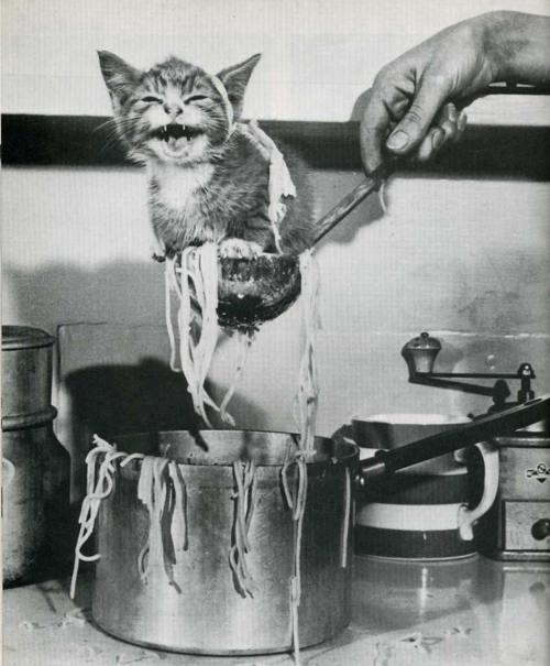 Katės tinka maistui į makaronus, bet neskanios ir miauksėjumu trukdo valgyt