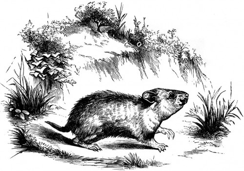 Žiurkėnas, senovinis piešinys