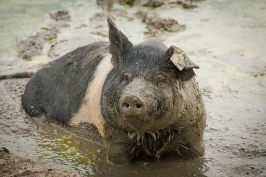 Kiaulė yra šiaip gyvulys. Gana protingas. Nors kai kurie kiaulių mylėtojai pasakoja, esą jos baisiai ten švarios, jos išties mėgsta purvą, nes jis apsaugo nuo visokių vabzdžių, o ir šiaip gal joms patinka. Ne, kiaulė nėra panaši į politikus. Aš neturiu priežasčių, dėl kurių šlykštėčiausi kiaulėmis.